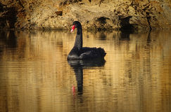 Black swan on gold Royalty Free Stock Photos
