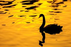 Black swan with golden backgroud. In the zoo royalty free stock photos