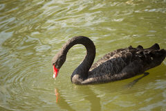 The black swan. Black swan graceful motions are reflected on the calm water of the lake, give a person with beautiful enjoyment. In the beautiful natural Stock Image