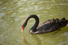 The black swan Stock Image