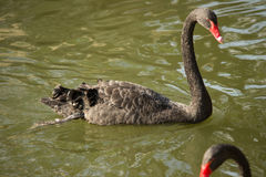 The black swan. Black swan graceful motions are reflected on the calm water of the lake, give a person with beautiful enjoyment. In the beautiful natural Royalty Free Stock Photo