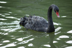 The black swan. Black swan graceful motions are reflected on the calm water of the lake, give a person with beautiful enjoyment. In the beautiful natural Stock Photos
