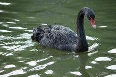 The black swan Stock Photos