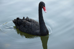 The black swan. Black swan graceful motions are reflected on the calm water of the lake, give a person with beautiful enjoyment. In the beautiful natural Royalty Free Stock Image