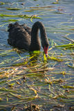 Black swan grazing on aquatic plants Royalty Free Stock Image
