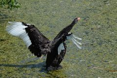 Black Swan in a green pond Stock Images