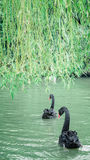 Black swan and green willow Royalty Free Stock Photography