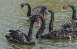Black Swan Stock Photography
