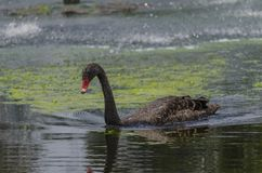 Black Swan in Gympie Qld. A magnificent black swan in Gympie in Qld. Nikon D5100 royalty free stock image