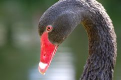 Black Swan Head Royalty Free Stock Image