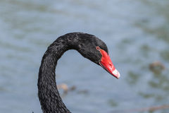 Black swan head Stock Images