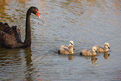 Black swan and her baby Stock Images