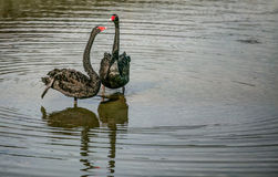 Black Swan I Royalty Free Stock Photos