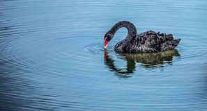 Black Swan II Royalty Free Stock Photography