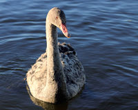 Black Swan Juvenile. The black swan (Cygnus atratus) is a large waterbird, a species of swan, which breeds mainly in the southeast and southwest regions of royalty free stock images