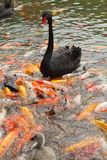 Black swan and koi Royalty Free Stock Photography