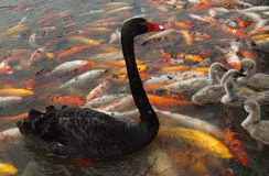 Black swan and koi Stock Photography
