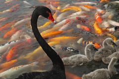 Black swan and koi Stock Image