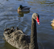 Black swan on Krestovskiy island Stock Images