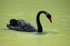 Black swan on lake Royalty Free Stock Image