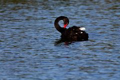 Black swan on lake Royalty Free Stock Images