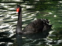 Black Swan. On a lake Stock Photography