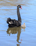 Black swan in a lake Royalty Free Stock Image