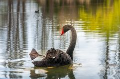 A black swan on the lake in Canberra Australia. The Black Swan Cygnus atratus is a large waterbird, a species of swan native to southeast and southwest regions Royalty Free Stock Images