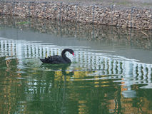 Black swan on the lake in city park. Water reflections Royalty Free Stock Images