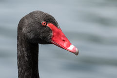 Black Swan Stock Photography