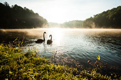 Black swan on lake Royalty Free Stock Photography