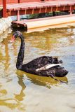 A black swan on the lake Royalty Free Stock Photography