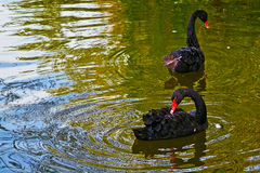 Black swan on the lake in park outside. Black swan on the Alexandru Ioan Cuza lake in park outside in Bucharest , capital of Romania Royalty Free Stock Photography