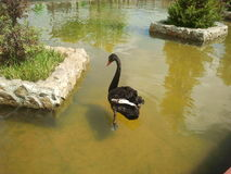 A black swan on lake in park Royalty Free Stock Images
