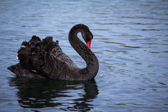 Black Swan on Lake Stock Photo
