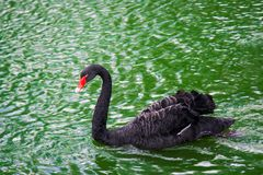 Black swan in the lake Royalty Free Stock Photography