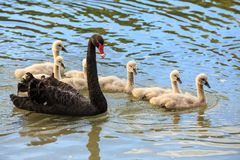 A black swan with a large family of cygnets royalty free stock photography