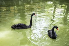 The black swan is a large waterbird, a species of swan. Which breeds mainly in the southeast and southwest regions of Australia stock photo