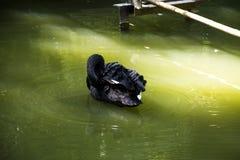 Black swan on a light lake stock photography