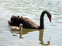Black Swan with little duckling in the pond Stock Photos