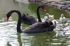 The black swan and little swan Royalty Free Stock Images