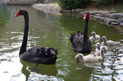 The black swan and little swan Royalty Free Stock Photo