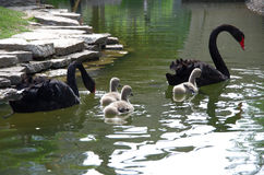 The black swan and little swan Stock Images