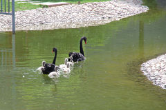 The black swan and little swan Stock Image