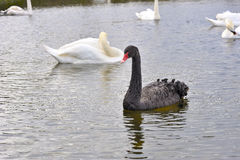 Black Swan Looking Strait Royalty Free Stock Images