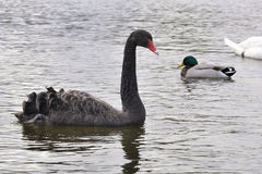 Black Swan With a Mallard Duck Behind. Swimming in the river Stock Photos
