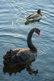 Black swan and mallard Stock Photo