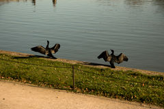 A black swan married couple Royalty Free Stock Photography