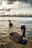 Black swan in Melbourne Royalty Free Stock Image