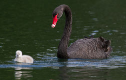 Black swan mom and child. The young black swan is watched over by its mom while swimming along a lake Stock Images